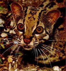 Chat marbré