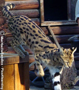 Le Serval, Leptailurus serval (Schreber, 1776). Apparence  grand chat