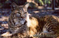 Bobcat hybride