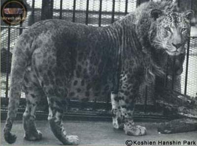 japanese_leopon.jpg