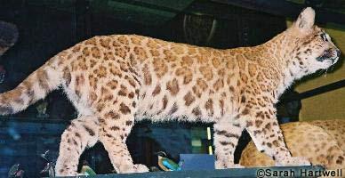 Pumapard empaillé