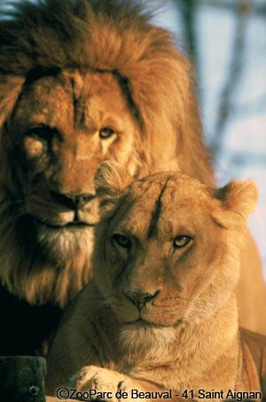 sa majeste la lionne