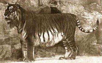 http://fauvesdumonde.free.fr/tigre/sousespece_f/tigrecaspienne.jpg