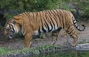 Le Tigre ( toutes sous-espèces confondues) Tigreindo