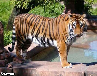 Le tigre dans 01 - Accueil tigrutil